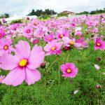 沖縄の北部・名護市でコスモス満開!!今が見頃ですよ。