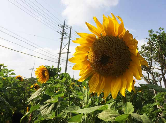 糸満・平和記念公園の『ひまわり畑の迷路』が楽しい!5歳息子大興奮♪